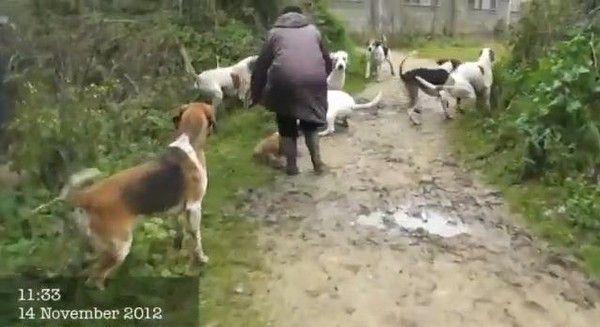 Jeune renard sauvé lors d'une chasse illégale en Angleterre