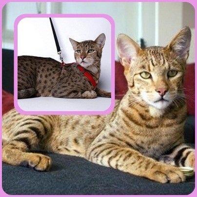le chat hypoallerg nique chat hypoallerg nique. Black Bedroom Furniture Sets. Home Design Ideas